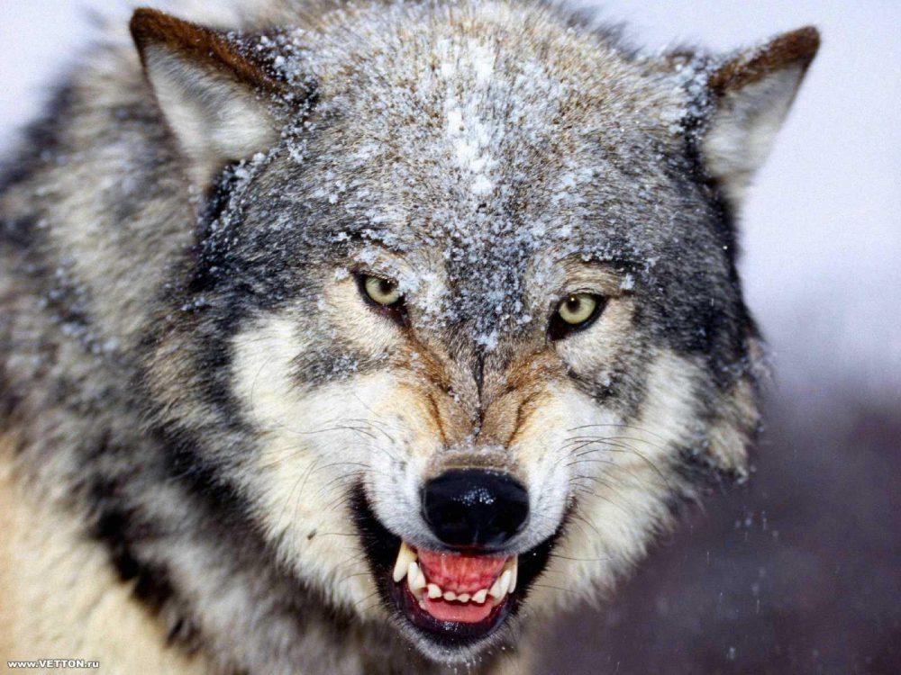 Farkas él a Zemplénben   pecsma.hu