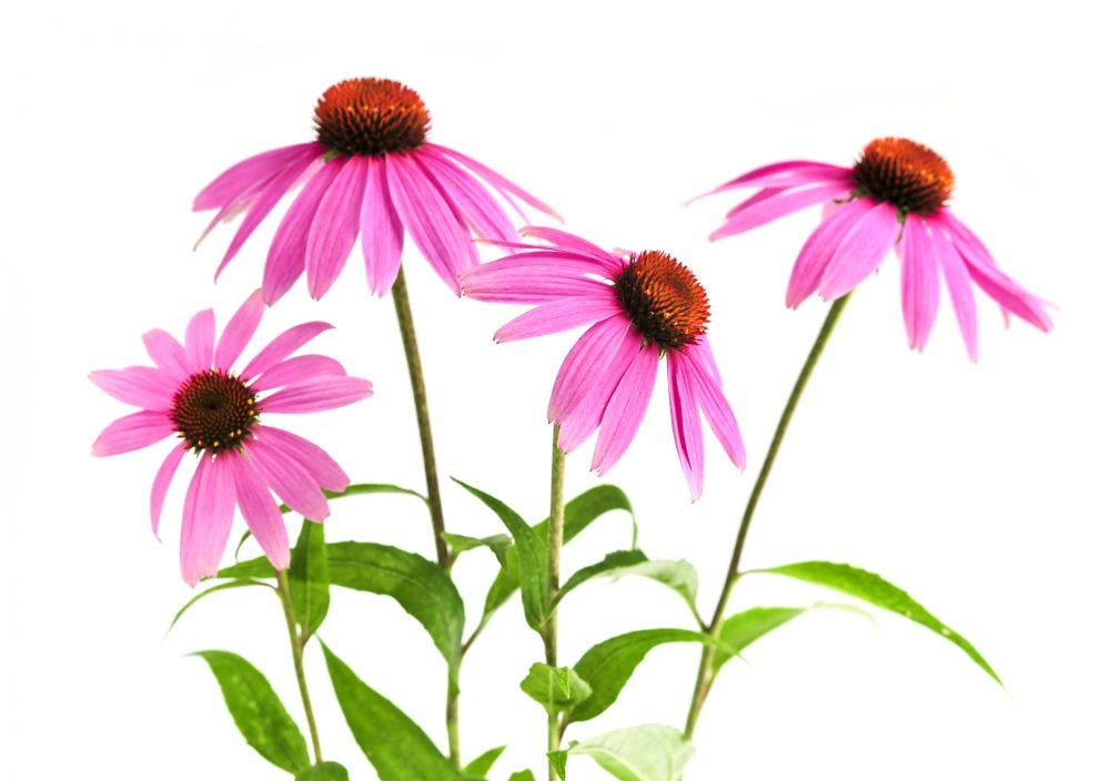 Echinacea, gyógynövény, virág, tea