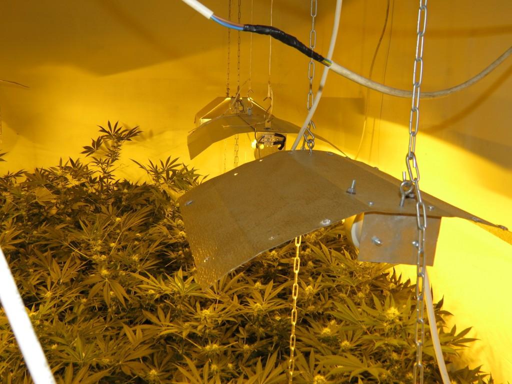 marihuána, fű