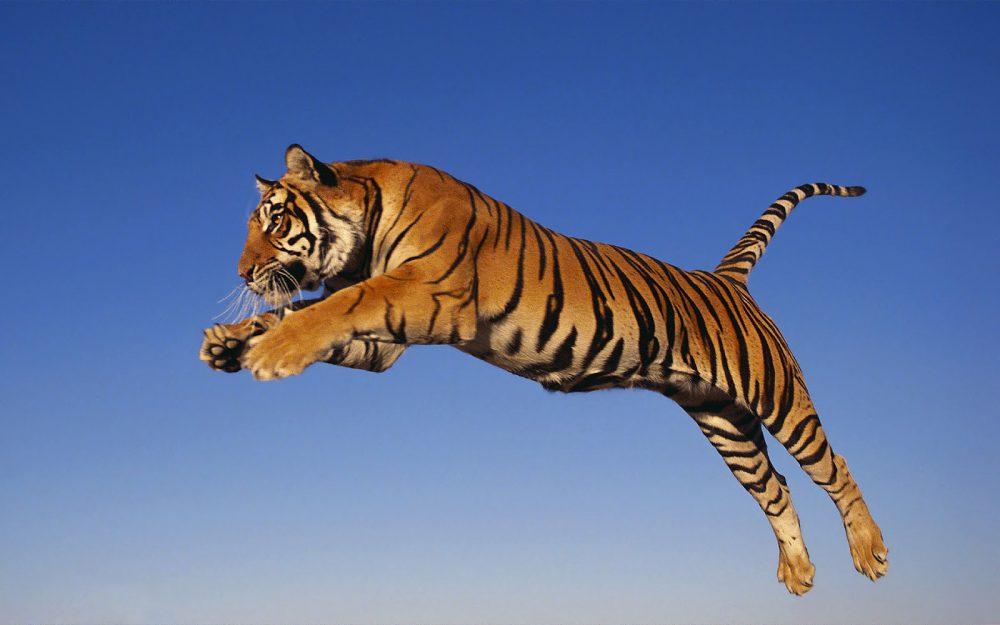 A baranyai tigris is így ugrott