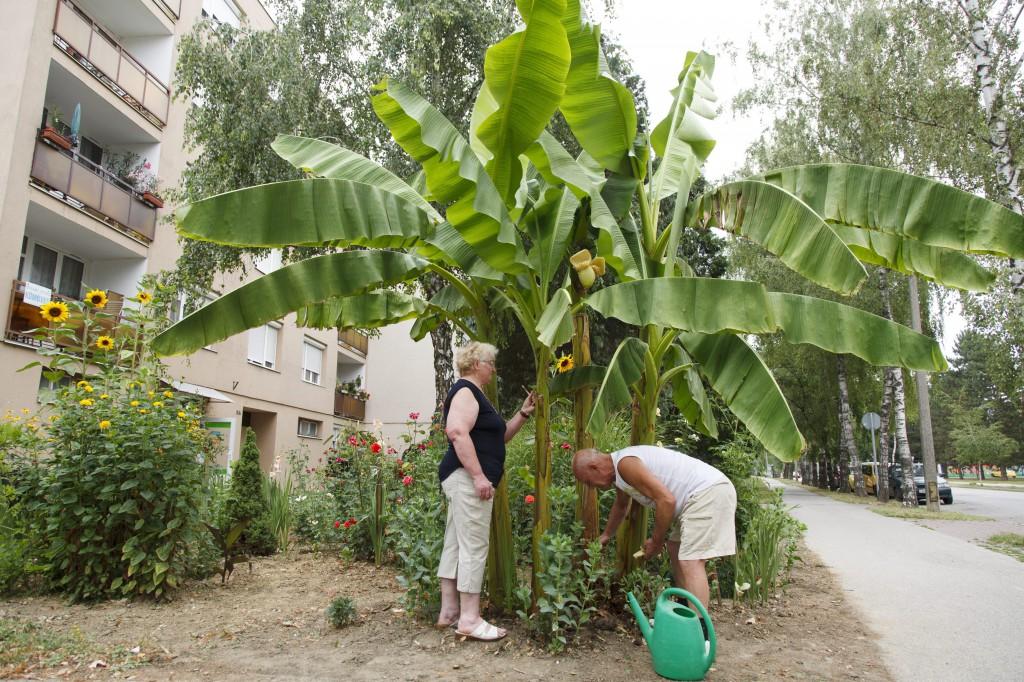 Termést hozott egy banánfa Nagykanizsán