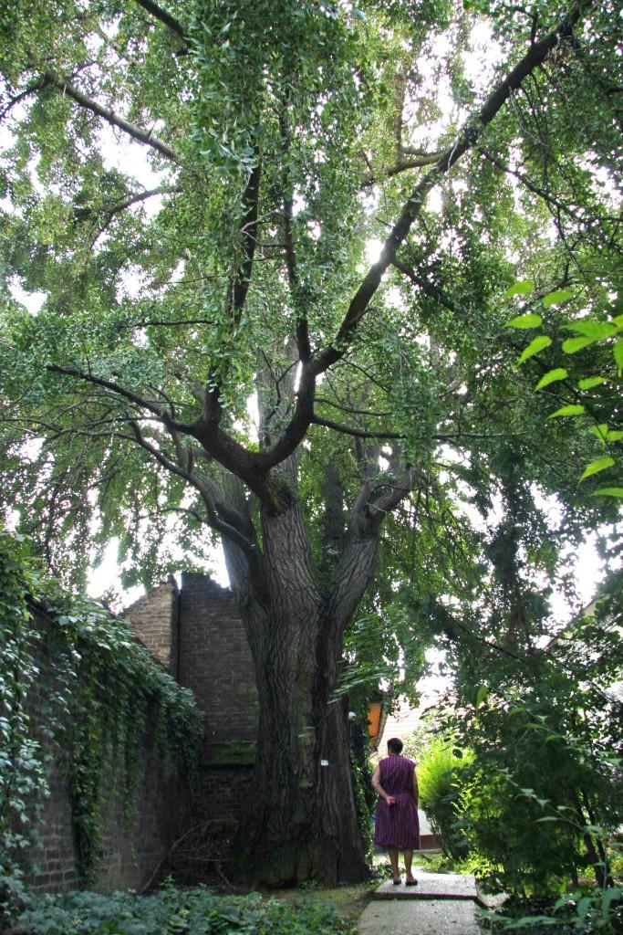 gingko védett fa (2)
