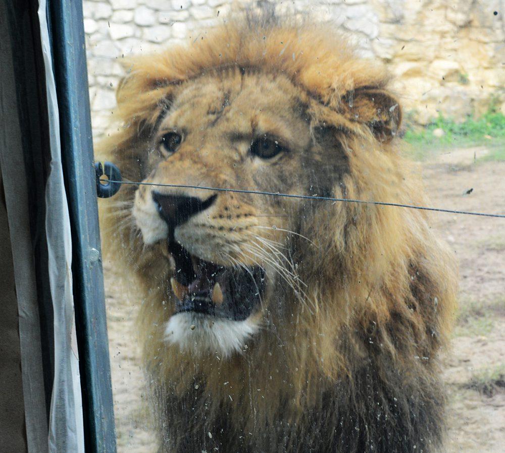 Az állatok királya Pécsett