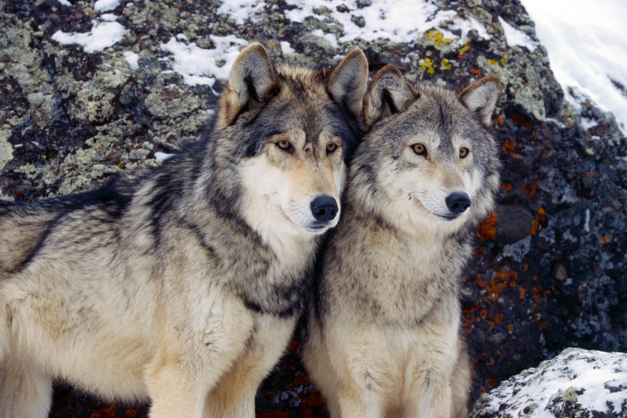 Egy európai szürke farkas pár. Az eltűnt állat is ilyen.