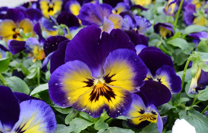 virágvásár a kossuth téren, hl05
