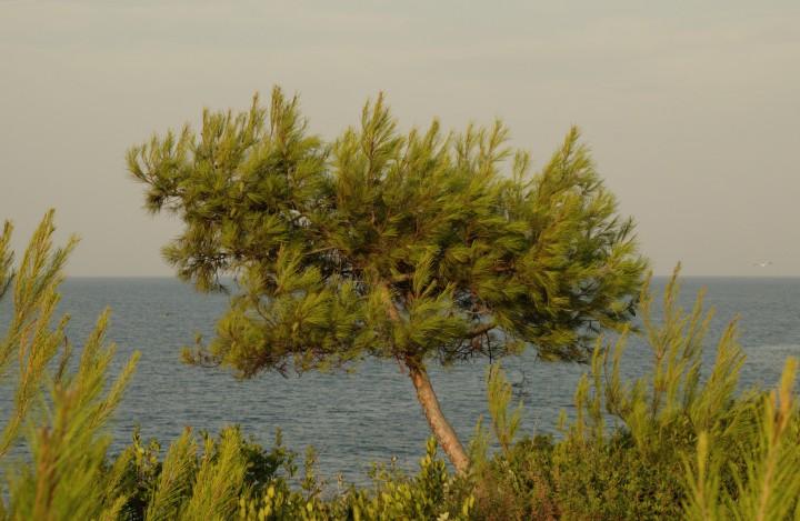 Pinus_halepensis_Rovinj
