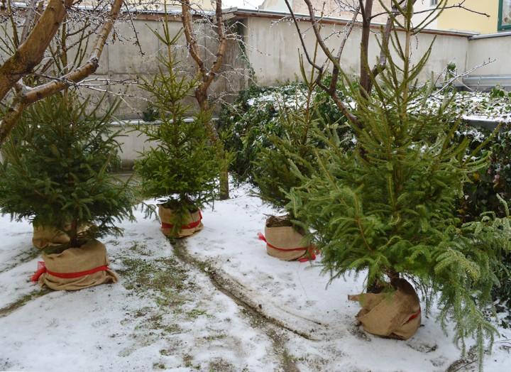 fenyőfa ajándék a janusnak, hl01