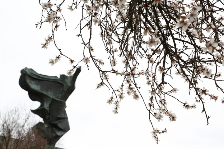 virágzó mandulafa, hl01