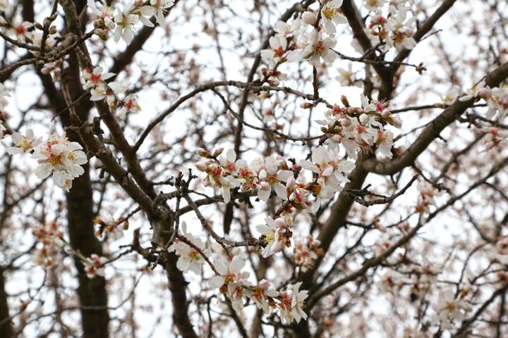 virágzó mandulafa, hl03
