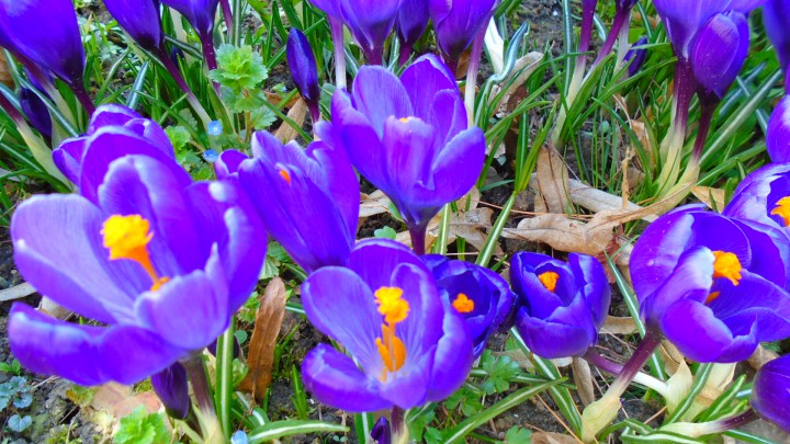 Crocus vernus 'Flower record'2
