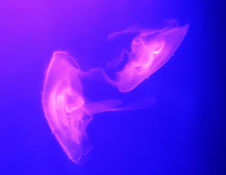 medúza1