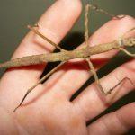 Megtalálták a világ leghosszabb rovarát
