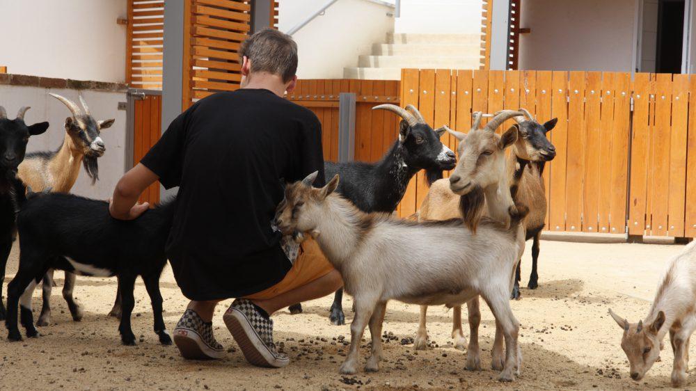 Nehéz volt szabadulni a kecskéktől
