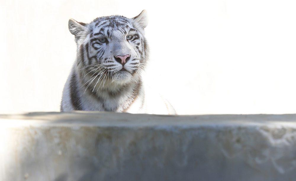 Őri Lászlóé ez a szép tigris