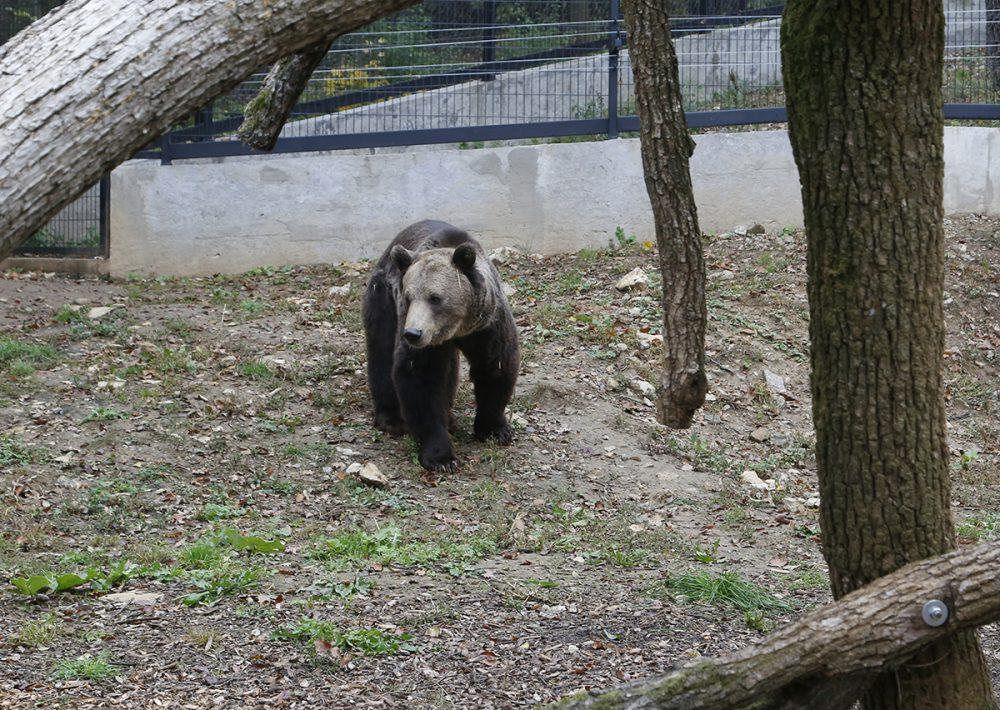 Ő az egyetlen barnamedve a Dunántúlon