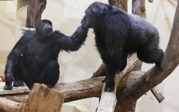 csimpánz02