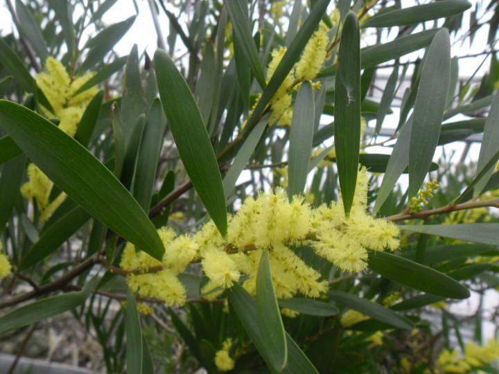 Acacia longifolia2