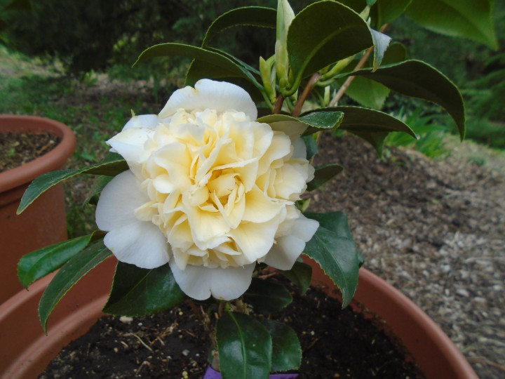 Camellia japonica `Jury`s Yellow`