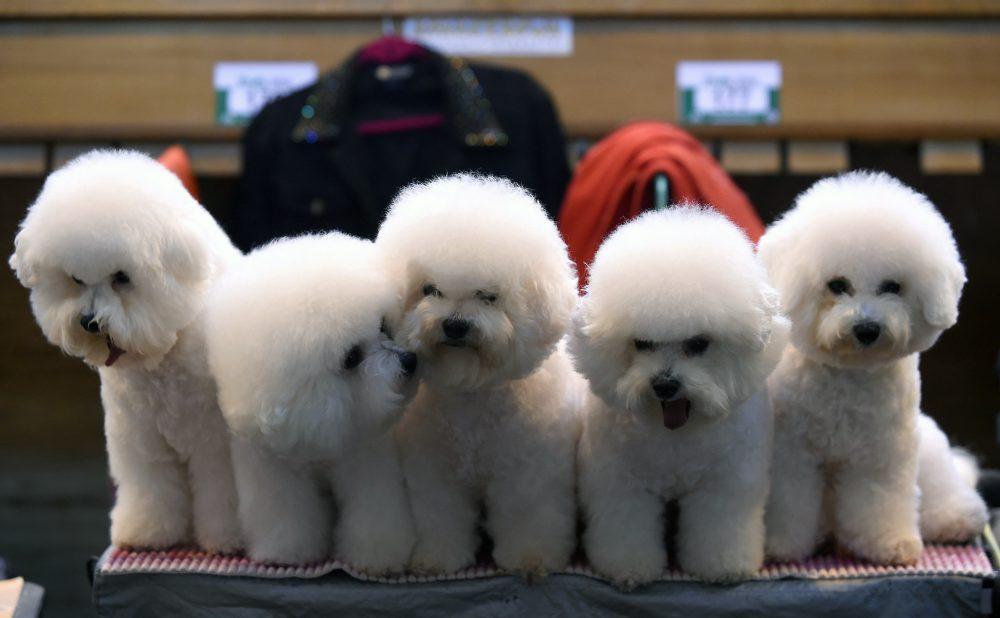 Kiállítási kutyánkat Pécsett is képezhetjük