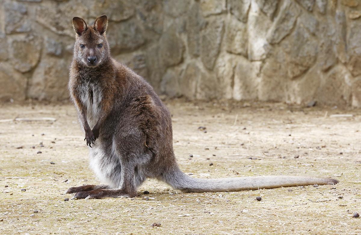 kenguru, hl04