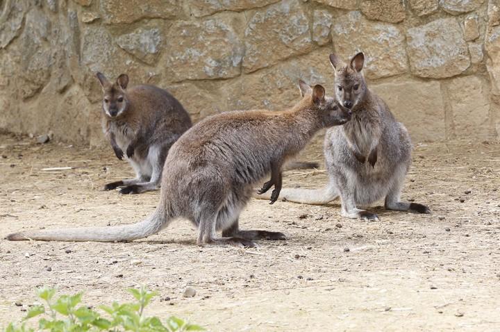 kenguru, harom, allatkert, allat, hl05