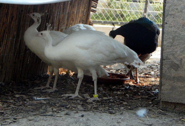 Nagy fehér kakasok com