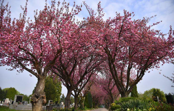 cseresznyefa temető virág tavasz