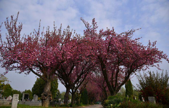 cseresznyefa tavasz temető virág