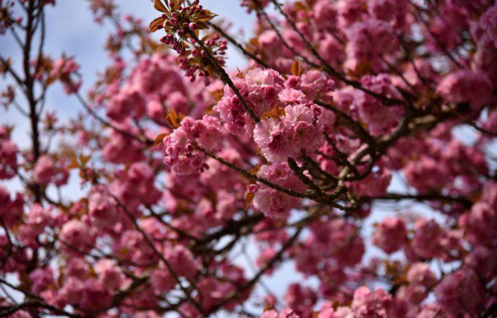cseresznyefa virág tavasz