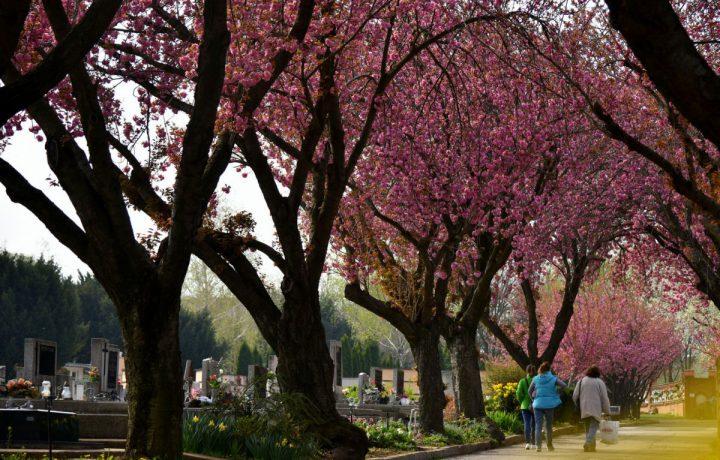 cseresznyefa temető fa virág tavasz