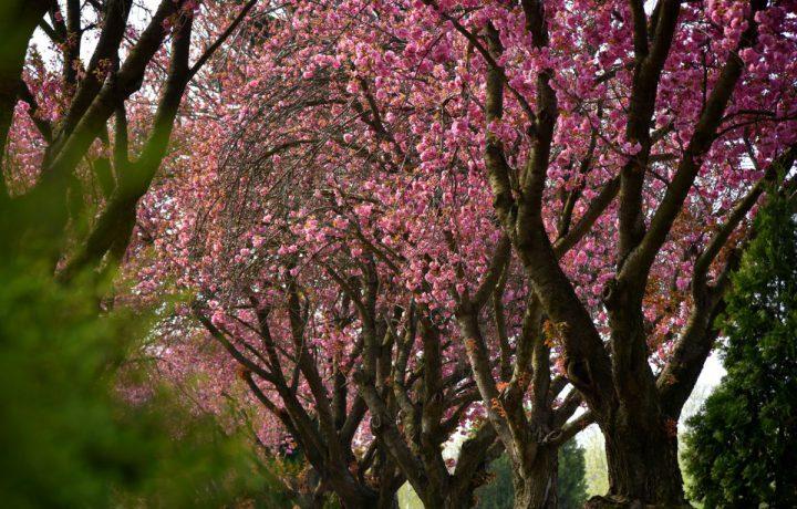 cseresznyefa virág temető tavasz