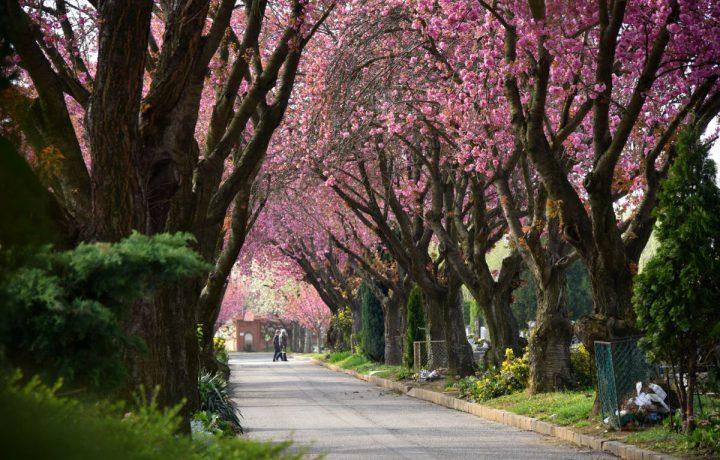 temető cseresznyefa virág