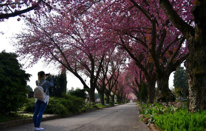 temető tavasz cseresznyefa virág