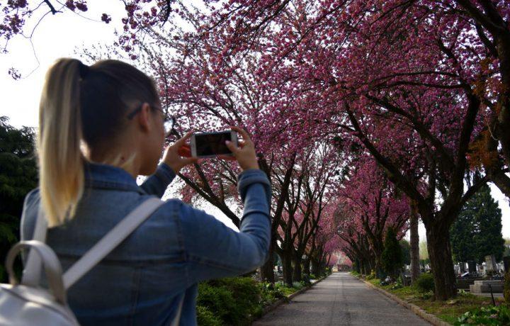 temető tavasz cseresznye fa virág