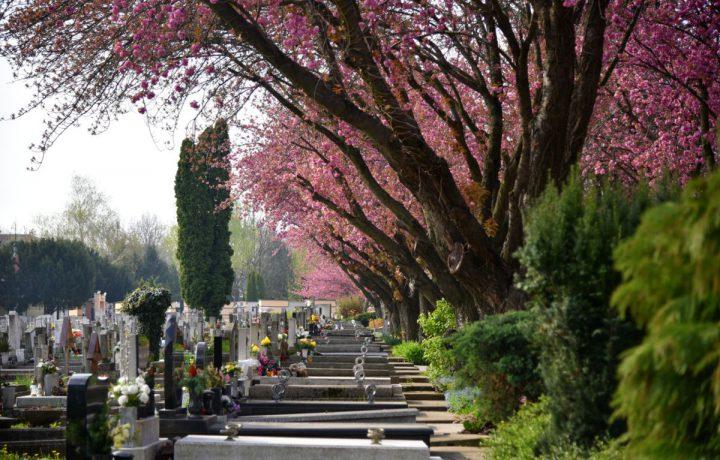 temető tavasz cseresznyevirág fa
