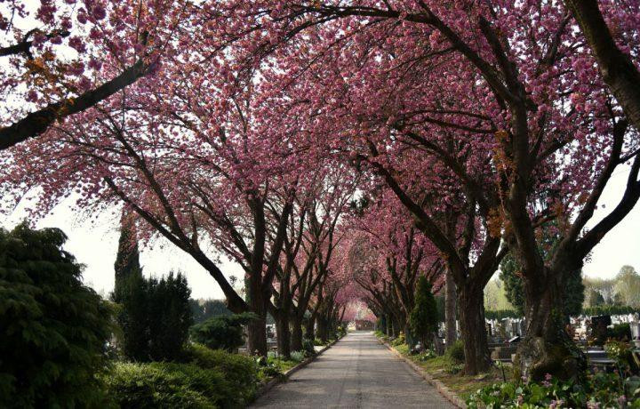 temető cseresznyefa tavasz virág