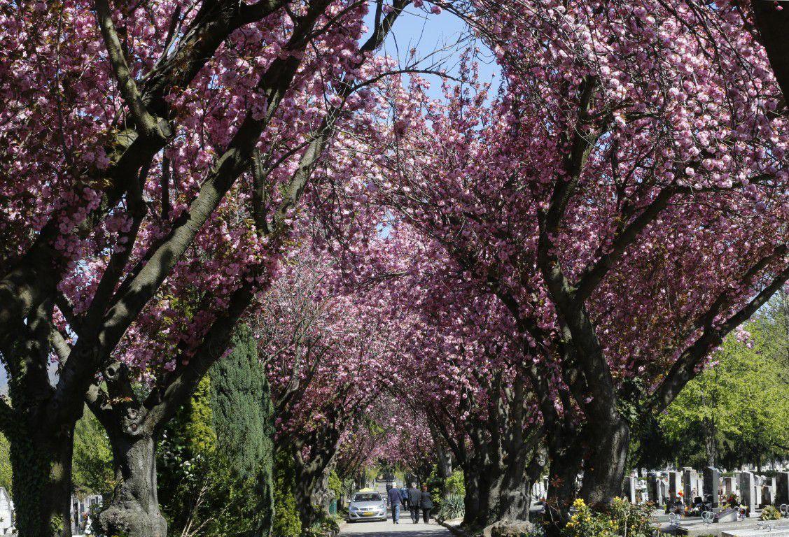 Színpompás látvány tárul elénk a temető cseresznyefái alatt sétálva
